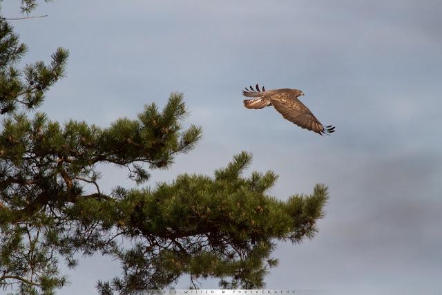 Vliegende Buizerd - Flying Buzzard - Buteo buteo