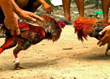 Tradisi Sabung Ayam di Indonesia Sudah Berabad-abad
