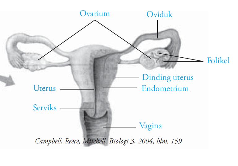 Organ Organ Reproduksi Wanita Materi Soal Biologi Smp Sma Rembang