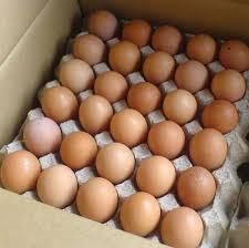 usaha telur ayam