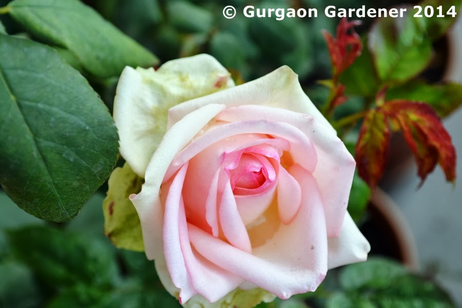 Gurgaon Gardener Rose Indian Roses Hybrid Garden Gulab