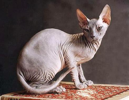 Кот сфинкс хвост