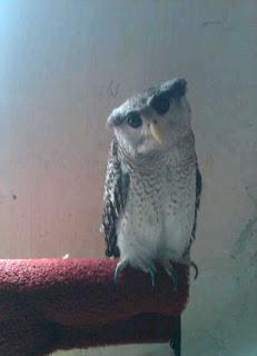 Foto Barred Eagle Owl