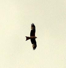 Ogden Red Kite