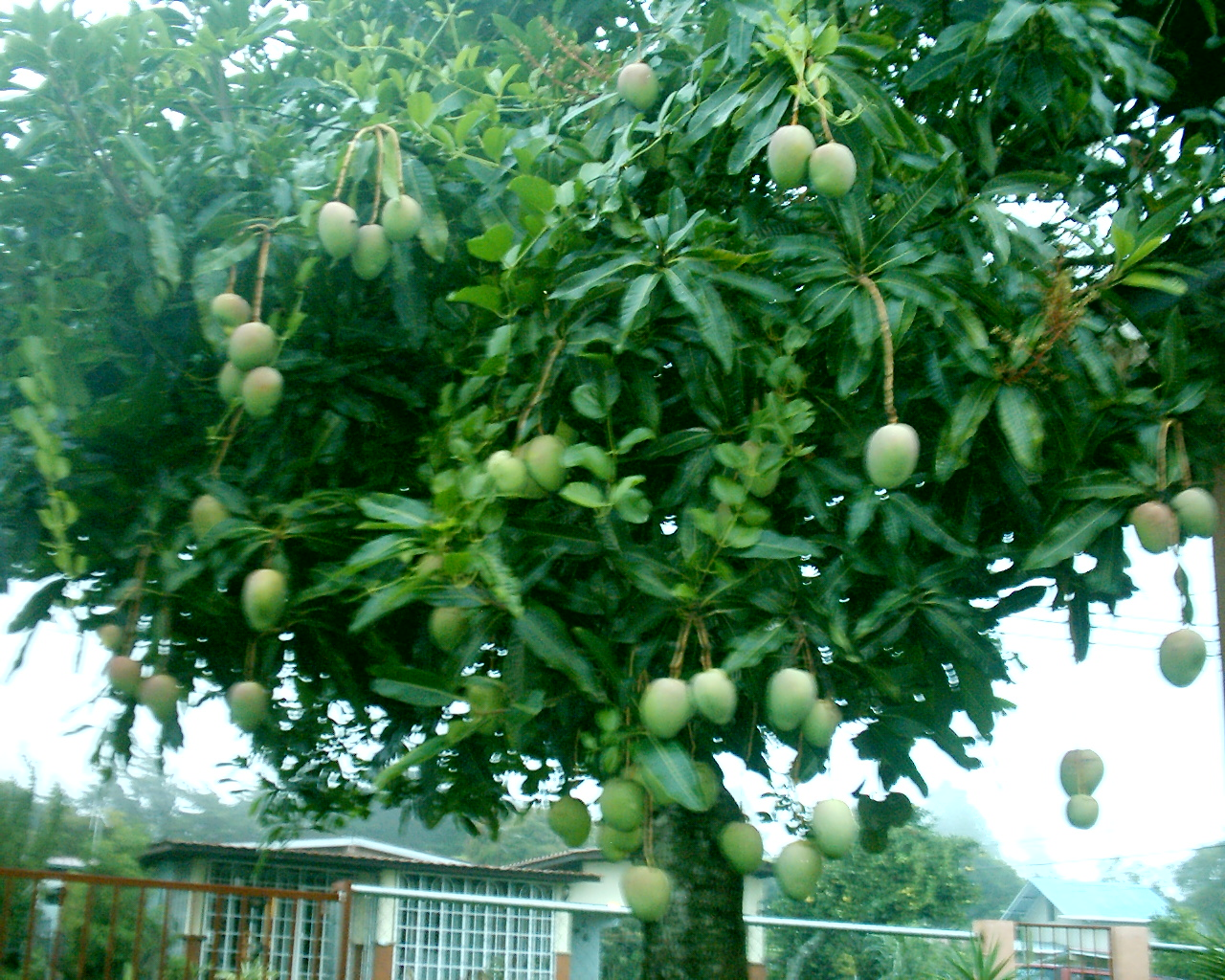 the life of the mango tree The most flavorful mango - the alphonso mango is sought out by renowned chefs  alphonso mango tree is  it will need regular pruning its whole life to keep it a.