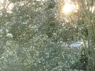 Sunrise behind blossoming plum tree 27 March 2012