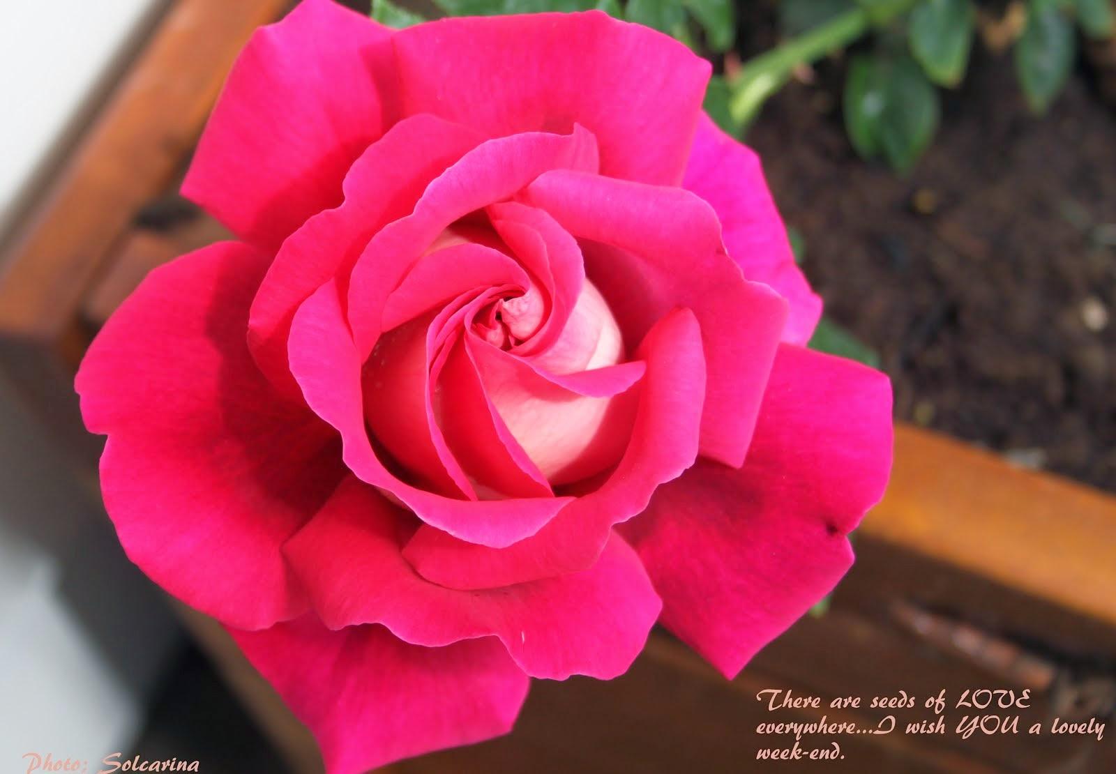 Une rose si belle-c'est pour vous ... de moi ...)
