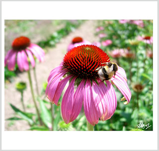 bees on flowers, a bee on a flower photo, bee and flower art, laura hol art