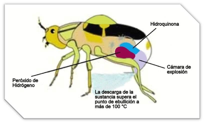Excelente Diagrama De La Anatomía Escarabajo Ilustración - Anatomía ...