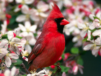 Northern cardinal of christmas jpg