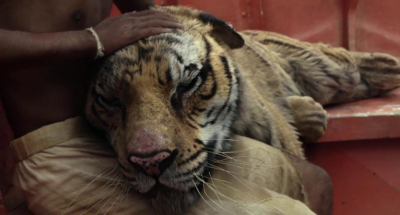 Life of pi tiger life of pi the tiger clip in cinemas for Life of pi wiki
