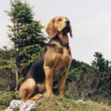 perro sabueso