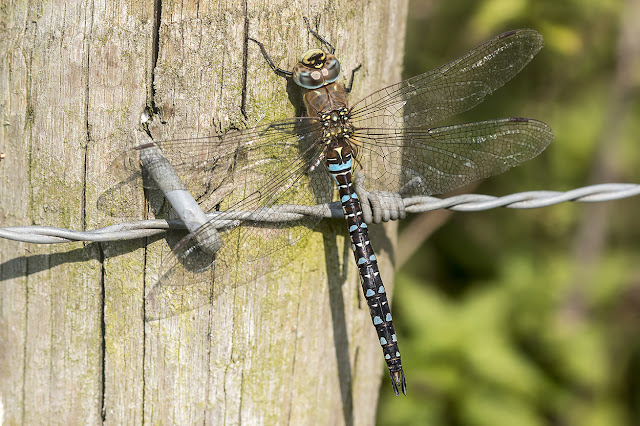 Migrant Hawker - Last of the Dragons?