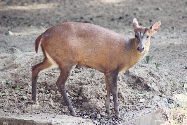 Barking Deer By Shashank Mittal Photography, Barking Deer, Shashank Mittal Photography, Shashank, Mittal, Photography, , Shashank Mittal, Photography, wildlife,