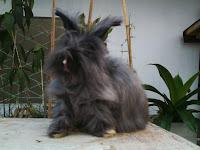 Jenis-jenis kelinci, Anggora Inggris
