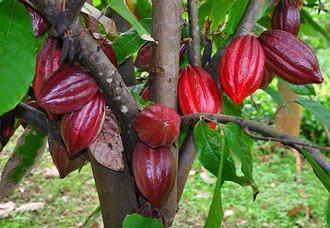 Budidaya Coklat