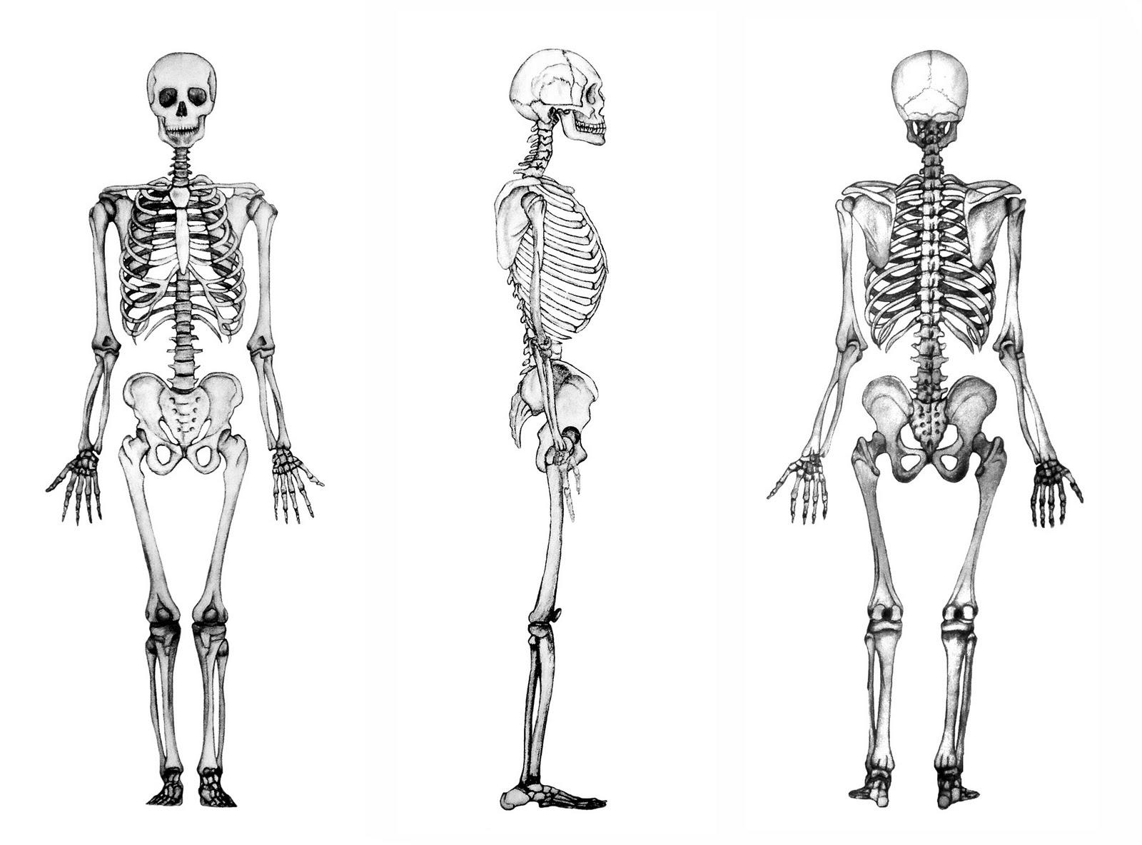 Apuntes de Osteopatía: 2.- Anatomía Generalidades del Esqueleto
