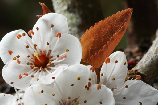 close up of a brialliant white  Pacific Crab Apple flower in spring with a bronze-coloured leaf in backgrond