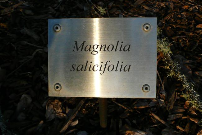 magnolia salicifolia, cedar creek oregon