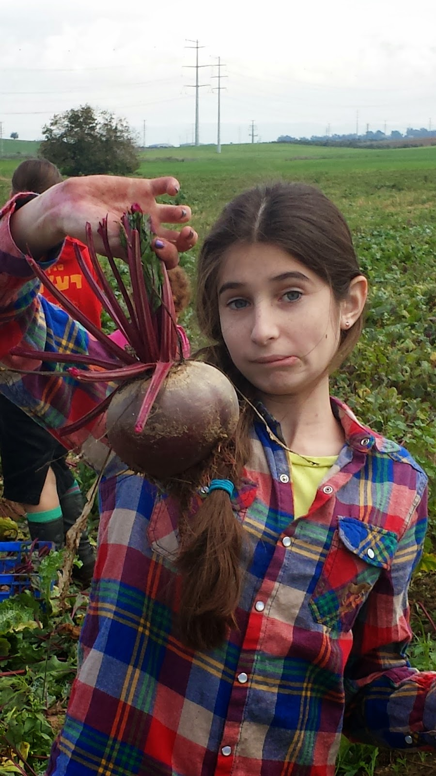 beet picking leket