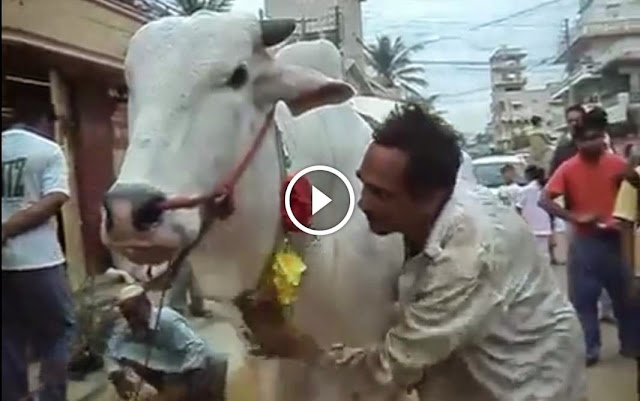 Cow Massage on Bakra Eid 2014 Funny Eid Qurbani 2014, Cow Massage on Bakra Eid 2014 Funny Eid Qurbani 2014,  cattle farming in pakistan, Cow Massage on Bakra Eid 2014 Funny Eid Qurbani 2014, Cow Massage on Bakra Eid 2014 Funny Eid Qurbani 2014 video, Cow Massage on Bakra Eid 2014 Funny Eid Qurbani 2014 dailymotion,