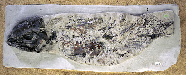 Macropoma, a coelocanth from the late Cretaceous. Specimen GSM109036. Lobe-finned fish like coelocanths are occasionally found in the late Cretaceous (about 70 million years old) Chalk of Britain and in eastern Europe.