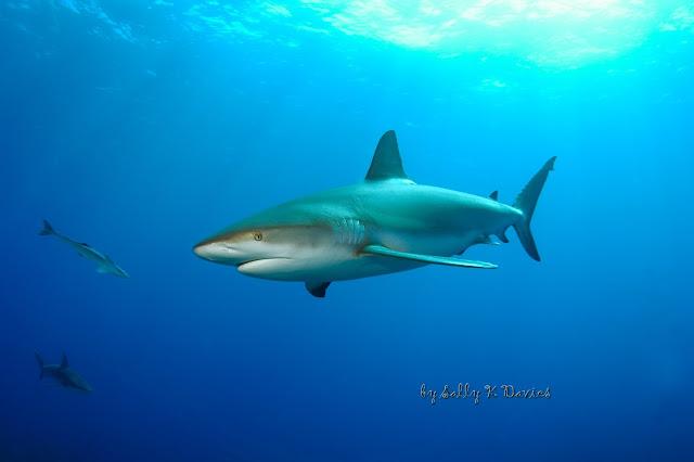 صورة أجمل سمكة قرش