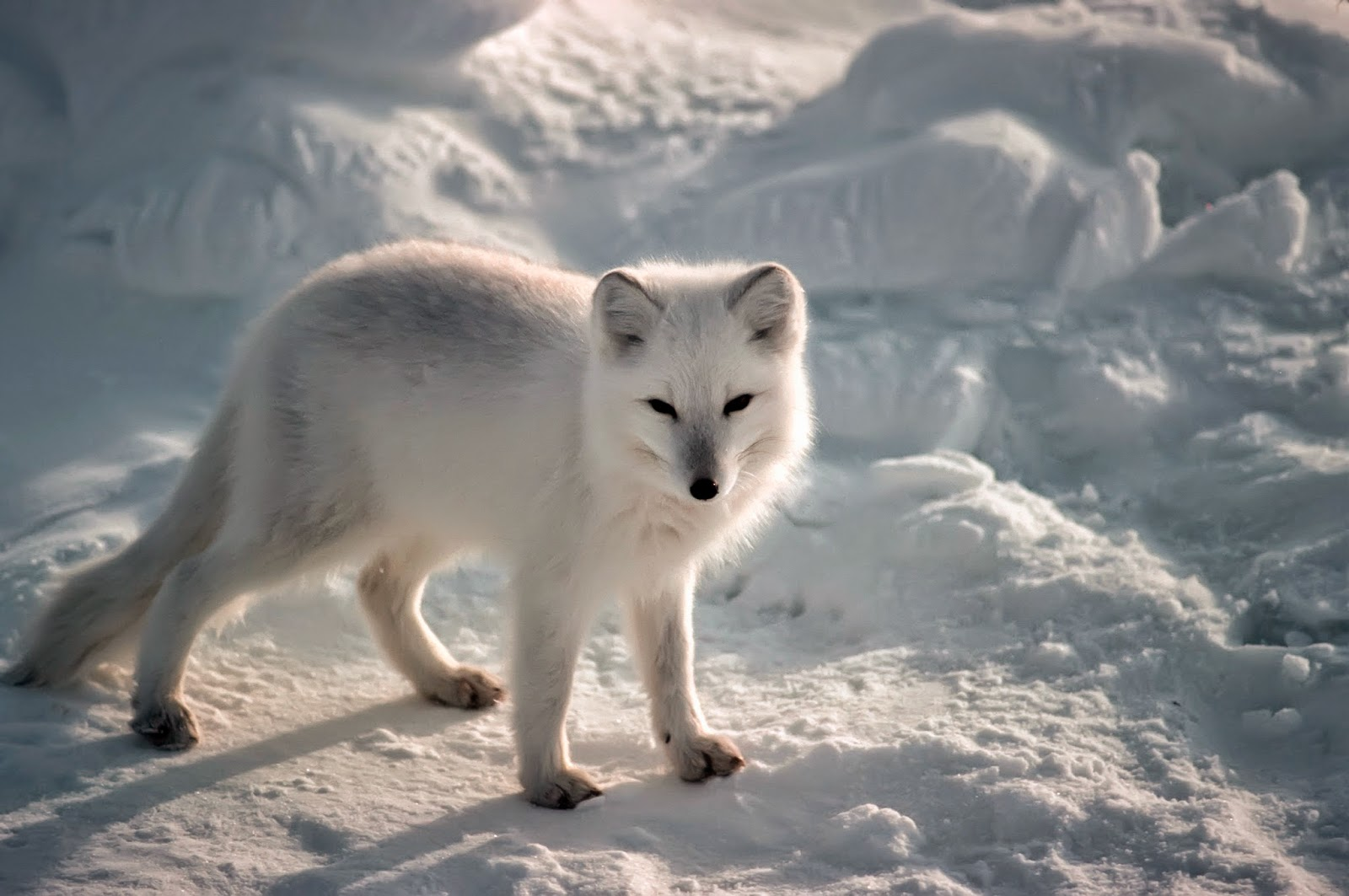 EPIC Creature of the Month!: Artic Fox