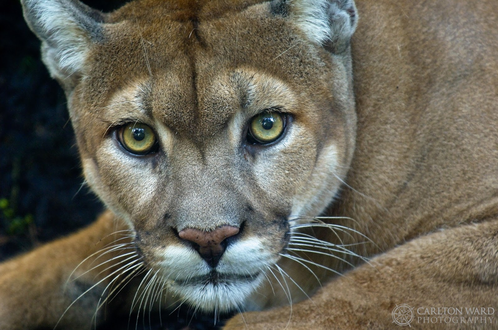 the only breeding population of the endangered florida panther which once ranged across the southeastern u s is now found in southern florida