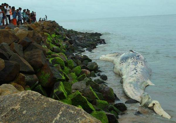 Kerala news, Carcass, 25-ft-long whale, Found, Washed, Ashore, Pazhangad beach, Edavanakkadu, Kochi, Thursday, Fire and Rescue personnel, Reached, Shift the carcass, as their crane was not strong enough for the purpose. They are likely to resume their efforts with a bigger crane on Friday morning.