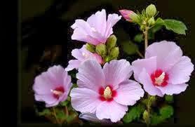 A Coreia do Sul adotou o hibisco-da-síria  , mugunghwa,   rosa-de-sarom ou mimo (Hibiscus syriacus)