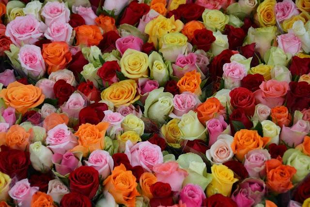 Utrecht roses