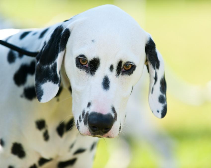 Dalmatiner, Landhaus Blumengarten, Dogs