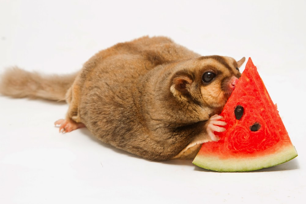 Exotic Nutrition Pet Company: Food Basics for your Sugar ...