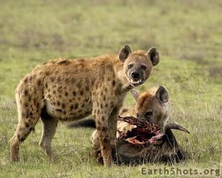 Soñar con hienas ¿Que significa?