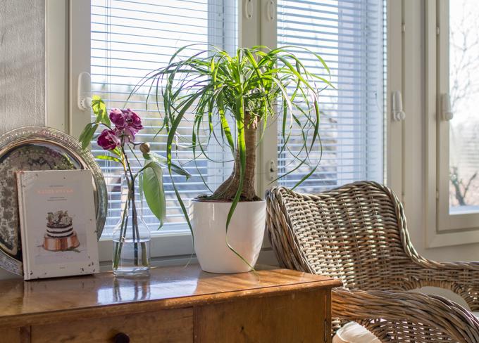 moderni tyylikäs viherkasvi yucca