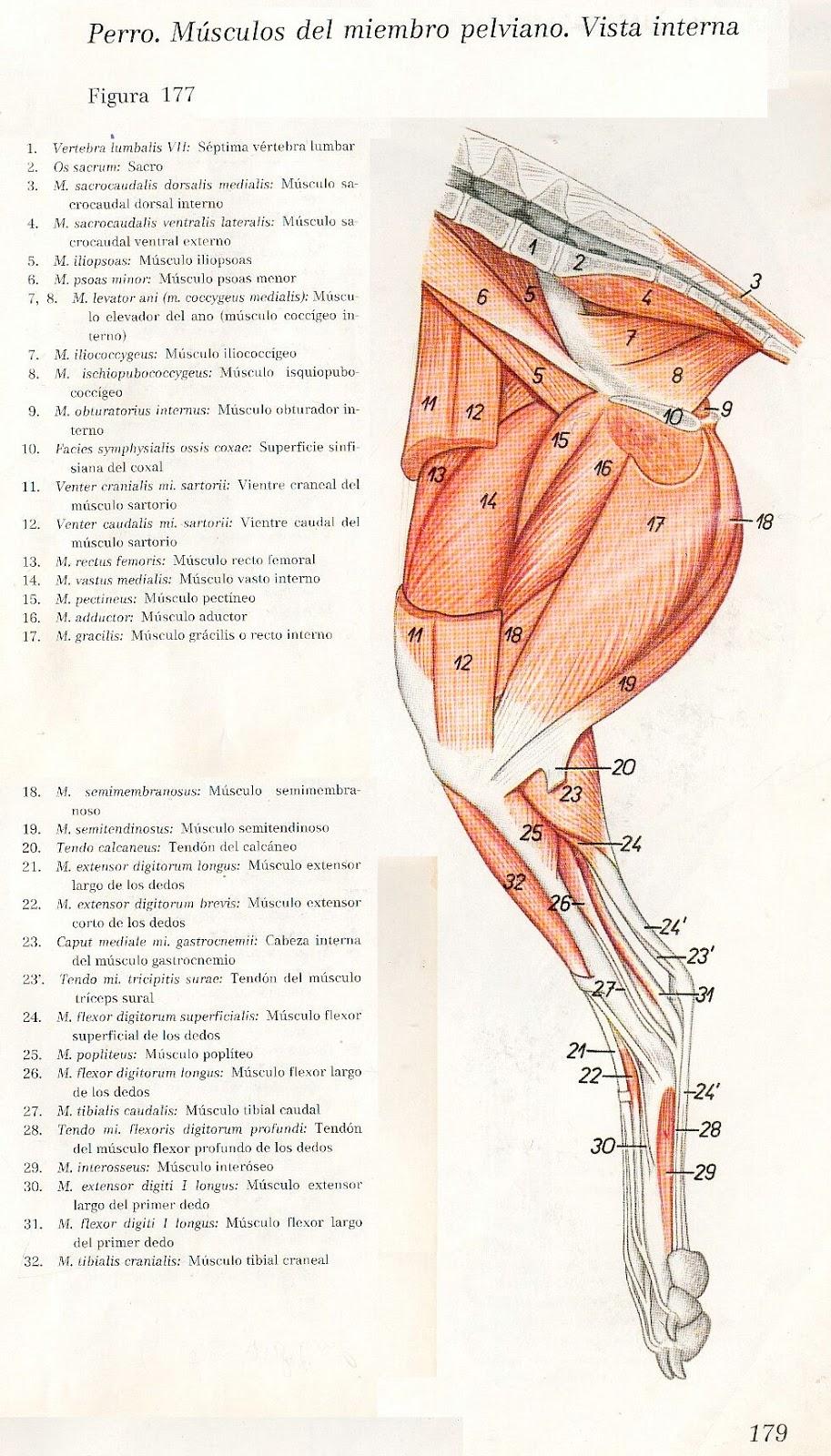 Fantástico Anatomía Músculo Canino Ilustración - Imágenes de ...
