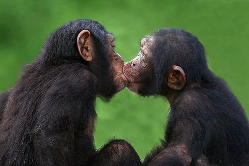 Primates that greet each other by having sex