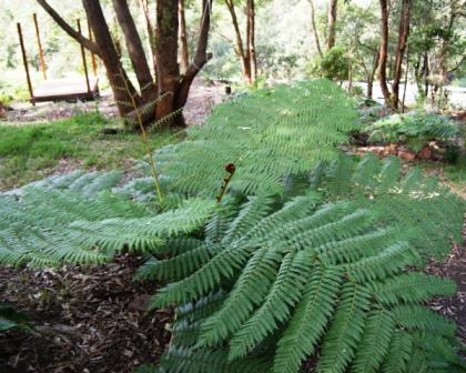 fronds of the rough tree fern in backyard setting