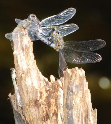Four-Spotted Skimmer  (Libellula quadrimaculata) with Violet Dancer (Argia fumipennis violacea)