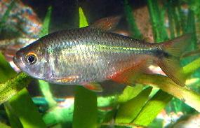 Aquarium Fish: Buenos Aires Tetra