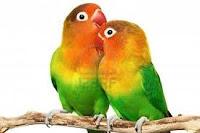 jenis lovebird fischeri