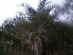 Palmeira Ouricuri (coquinho)