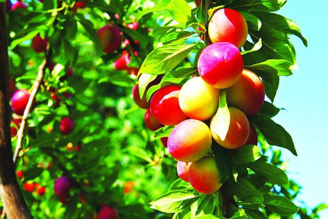 Từ vựng tiếng nhật: Chủ đề trái cây