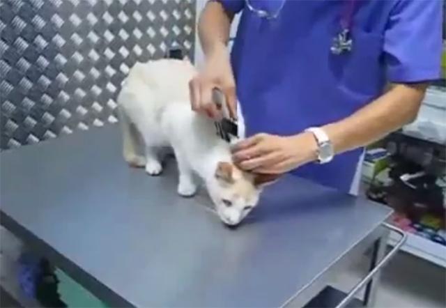 Como paralisar um gato sem anestesia