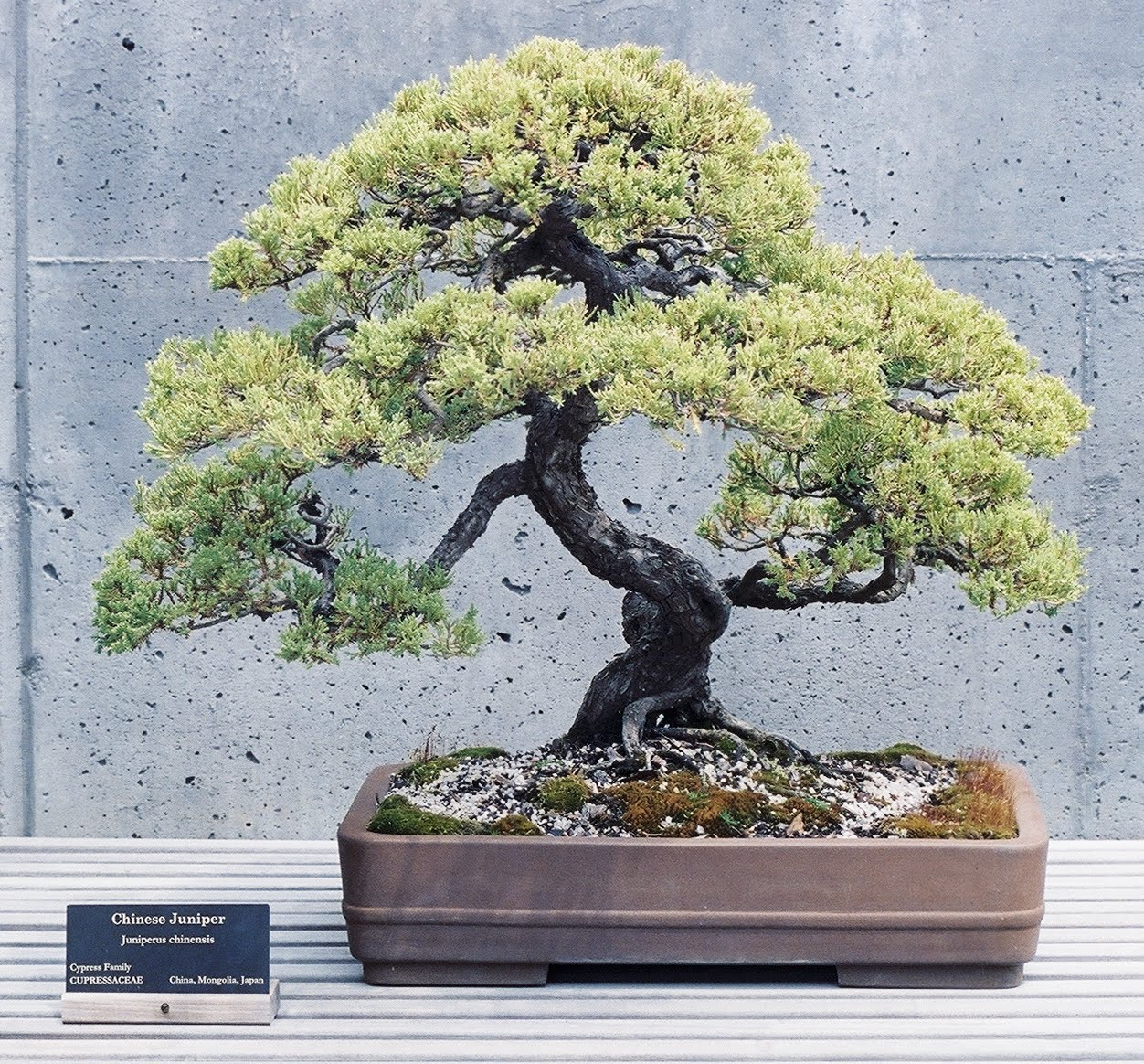 Wedding Flowers Juniper Bonsai