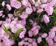 Kalmia (Kalmia polifolia)