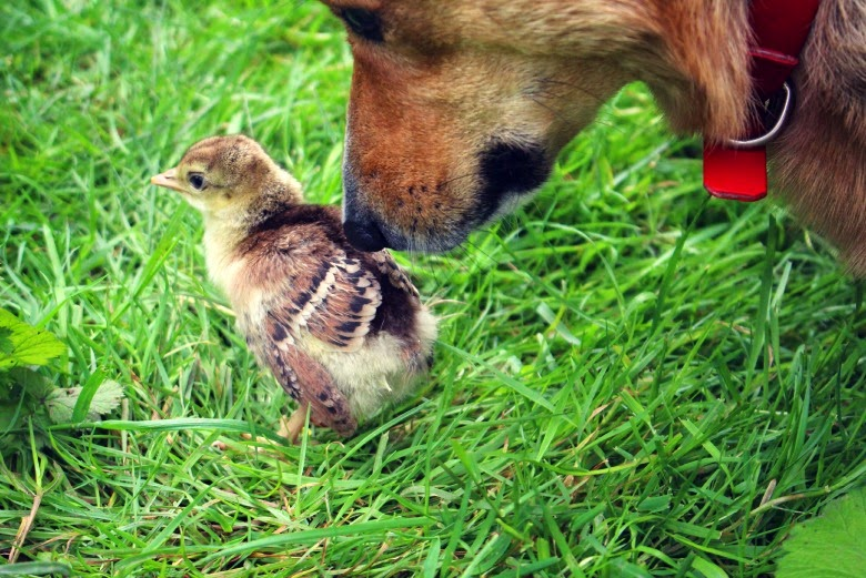 Corgi and chick