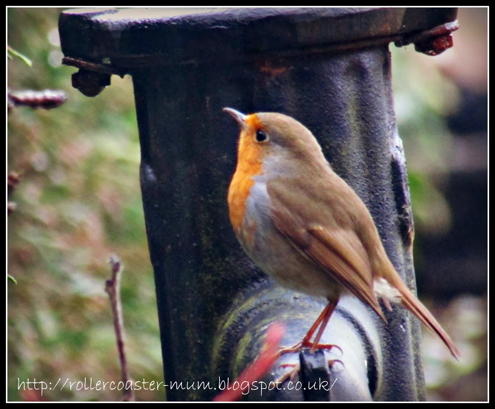 Friendly Robin redbreast