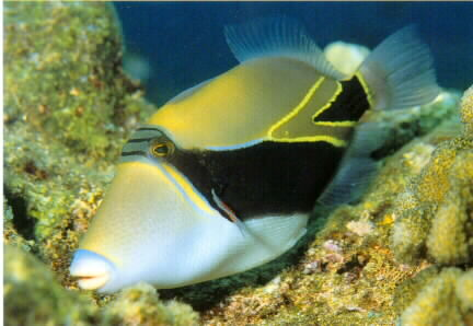 Info junction blog reef triggerfish for Fish of hawaii